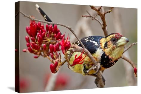 Crested Barbet, South Africa-Arnoud Quanjer-Stretched Canvas Print