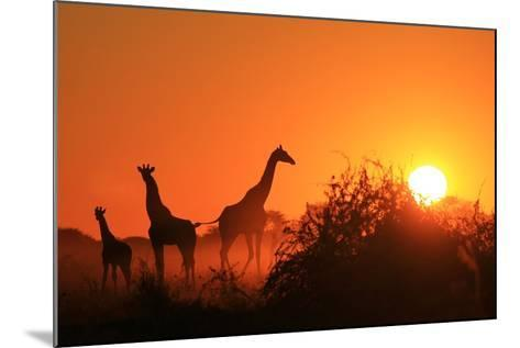 Giraffe Silhouette - African Wildlife Background - Beauty in Color and Freedom-Stacey Ann Alberts-Mounted Photographic Print