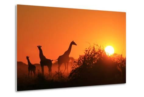 Giraffe Silhouette - African Wildlife Background - Beauty in Color and Freedom-Stacey Ann Alberts-Metal Print