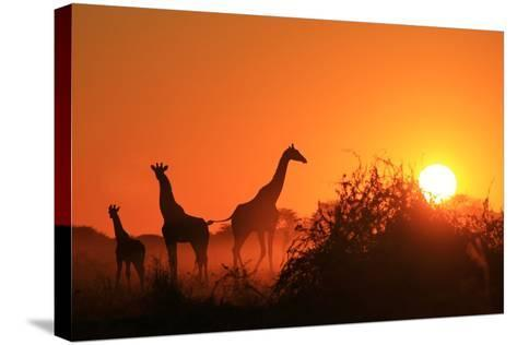 Giraffe Silhouette - African Wildlife Background - Beauty in Color and Freedom-Stacey Ann Alberts-Stretched Canvas Print