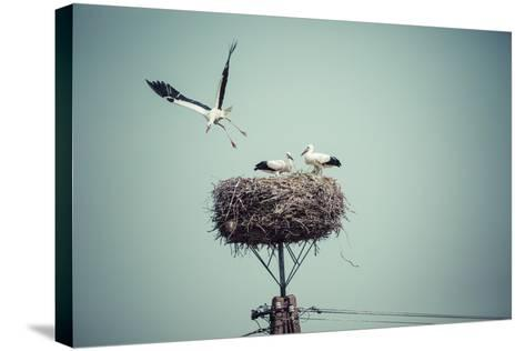 Stork with Baby Birds in the Nest, Poland.- Curioso-Stretched Canvas Print