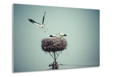 Stork with Baby Birds in the Nest, Poland.- Curioso-Metal Print