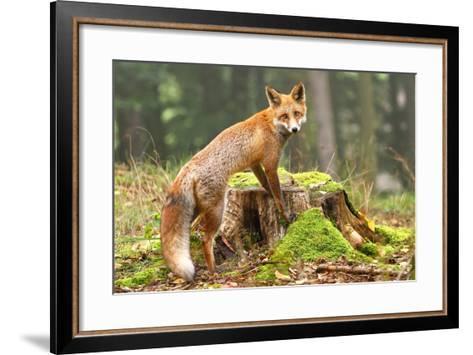 Fox on Stump-Miroslav Hlavko-Framed Art Print