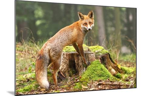 Fox on Stump-Miroslav Hlavko-Mounted Photographic Print