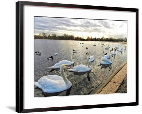 Swans on Lake at Sunset .-Honey Cloverz-Framed Art Print