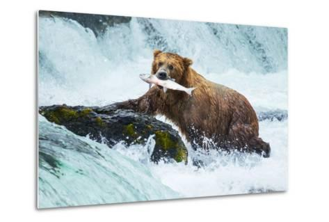 Brown Bear on Alaska-Galyna Andrushko-Metal Print