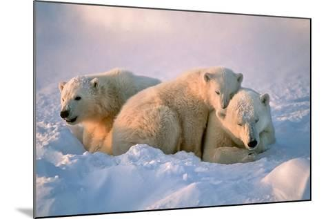 Polar Bear with Her Cubs-outdoorsman-Mounted Photographic Print