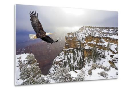Bald Eagle Flying above Grand Canyon-Steve Collender-Metal Print
