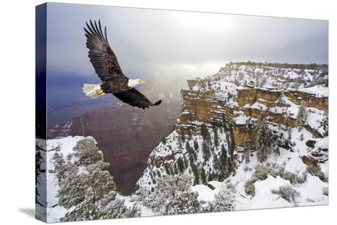 Bald Eagle Flying above Grand Canyon-Steve Collender-Stretched Canvas Print