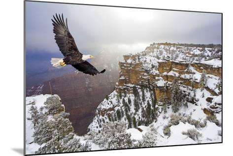 Bald Eagle Flying above Grand Canyon-Steve Collender-Mounted Photographic Print
