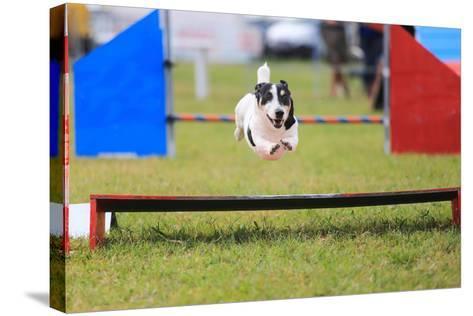 Racing Dog for Agility-francesco de marco-Stretched Canvas Print