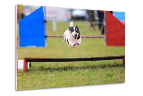 Racing Dog for Agility-francesco de marco-Metal Print