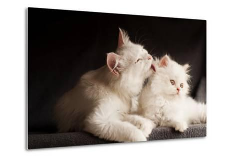 Adorable White Persian Cats, Mother Licking its Cub- DreamBig-Metal Print