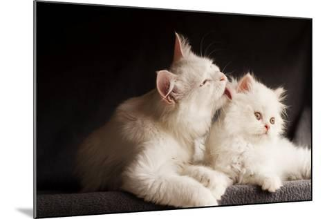 Adorable White Persian Cats, Mother Licking its Cub- DreamBig-Mounted Photographic Print