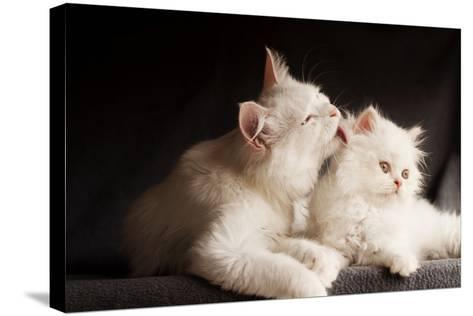 Adorable White Persian Cats, Mother Licking its Cub- DreamBig-Stretched Canvas Print