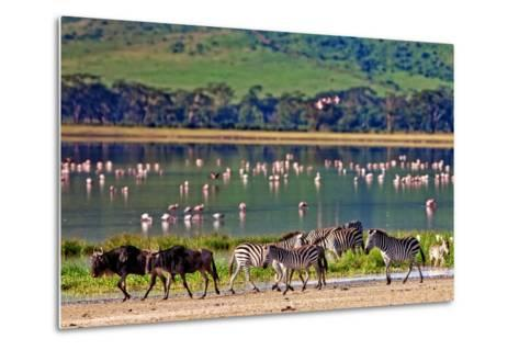 Zebras and Wildebeests Walking beside the Lake in the Ngorongoro Crater, Tanzania, Flamingos in The-Travel Stock-Metal Print
