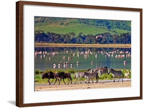 Zebras and Wildebeests Walking beside the Lake in the Ngorongoro Crater, Tanzania, Flamingos in The-Travel Stock-Framed Art Print