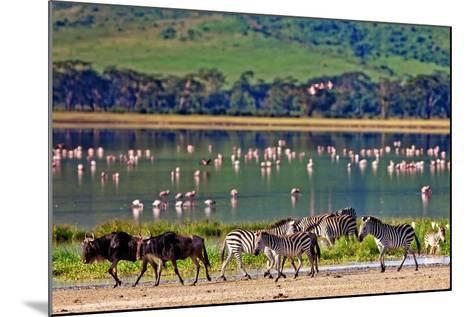 Zebras and Wildebeests Walking beside the Lake in the Ngorongoro Crater, Tanzania, Flamingos in The-Travel Stock-Mounted Photographic Print