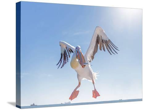 Great White Pelican Catches Fish Thrown by Tourists on the Deck of the Ship - Namibia, South Africa-Vadim Petrakov-Stretched Canvas Print