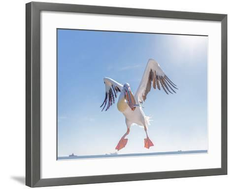 Great White Pelican Catches Fish Thrown by Tourists on the Deck of the Ship - Namibia, South Africa-Vadim Petrakov-Framed Art Print