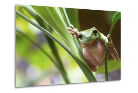 Australian Green Tree Frog on a Leaf.-Andrew Lam-Metal Print