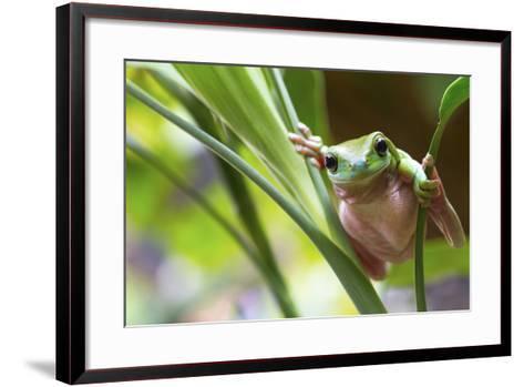 Australian Green Tree Frog on a Leaf.-Andrew Lam-Framed Art Print