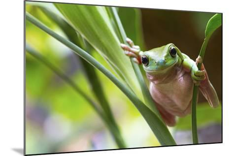 Australian Green Tree Frog on a Leaf.-Andrew Lam-Mounted Photographic Print
