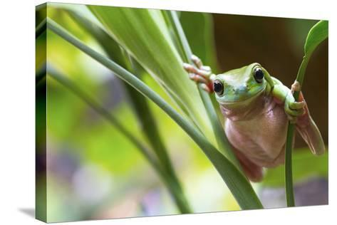 Australian Green Tree Frog on a Leaf.-Andrew Lam-Stretched Canvas Print