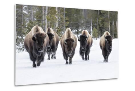 American Bison-David Osborn-Metal Print