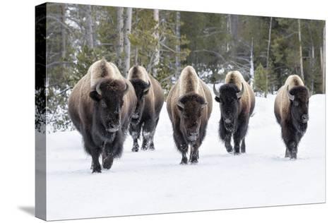 American Bison-David Osborn-Stretched Canvas Print
