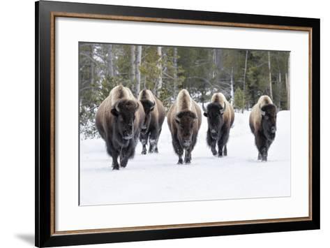 American Bison-David Osborn-Framed Art Print