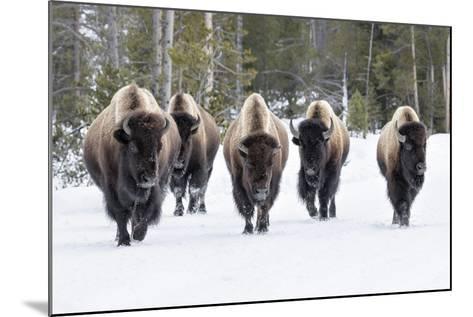 American Bison-David Osborn-Mounted Photographic Print