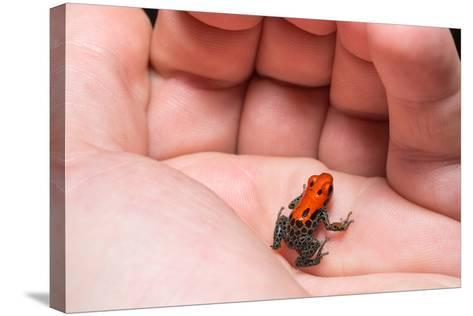 Red-Backed Poison Frog, (Ranitomeya Reticulata) a Colorful and Poison Frog of the Amazon Jungle.-Christian Vinces-Stretched Canvas Print
