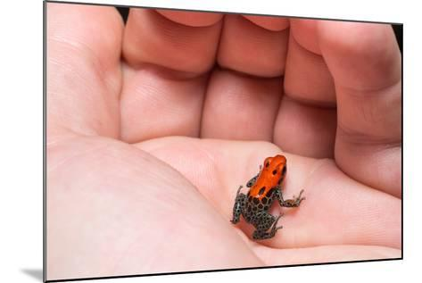 Red-Backed Poison Frog, (Ranitomeya Reticulata) a Colorful and Poison Frog of the Amazon Jungle.-Christian Vinces-Mounted Photographic Print