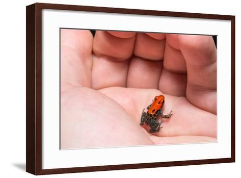 Red-Backed Poison Frog, (Ranitomeya Reticulata) a Colorful and Poison Frog of the Amazon Jungle.-Christian Vinces-Framed Art Print