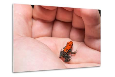 Red-Backed Poison Frog, (Ranitomeya Reticulata) a Colorful and Poison Frog of the Amazon Jungle.-Christian Vinces-Metal Print