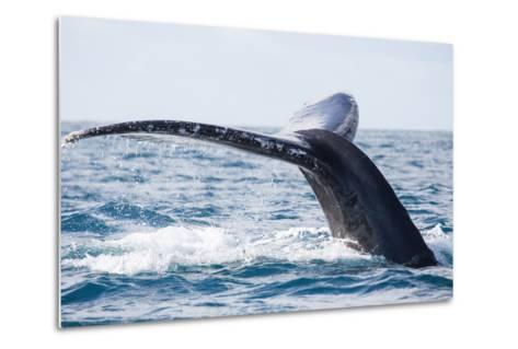 Tail of Whale/Whale Show the Tail above Water/It's a Excellent Photo, Picture, Illustration of Wild-Kirill Dorofeev-Metal Print