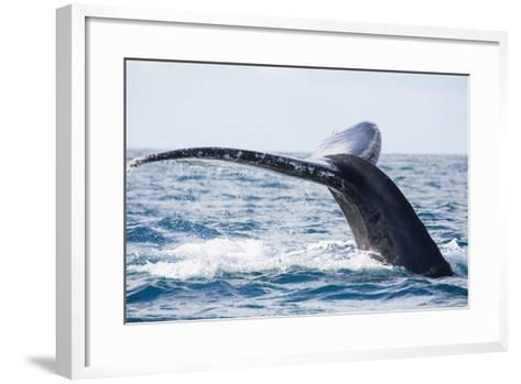 Tail of Whale/Whale Show the Tail above Water/It's a Excellent Photo, Picture, Illustration of Wild-Kirill Dorofeev-Framed Art Print