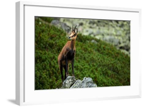 Chamois on the Top of Rock in High Tatras- Losonsky-Framed Art Print