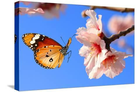 Butterfly and Pink Almond Tree Blossom-Protasov AN-Stretched Canvas Print