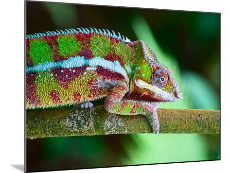 Green Chameleon on the Green Grass-Fedor Selivanov-Mounted Photographic Print