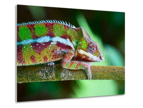 Green Chameleon on the Green Grass-Fedor Selivanov-Metal Print