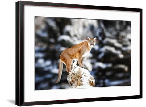 Portrait of a Cougar, Mountain Lion, Puma, Panther, Striking a Pose on a Fallen Tree, Winter Scene-Baranov E-Framed Art Print
