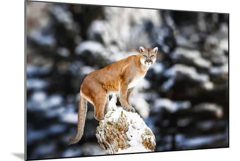 Portrait of a Cougar, Mountain Lion, Puma, Panther, Striking a Pose on a Fallen Tree, Winter Scene-Baranov E-Mounted Photographic Print