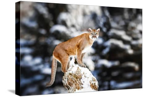 Portrait of a Cougar, Mountain Lion, Puma, Panther, Striking a Pose on a Fallen Tree, Winter Scene-Baranov E-Stretched Canvas Print