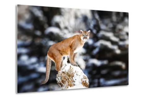 Portrait of a Cougar, Mountain Lion, Puma, Panther, Striking a Pose on a Fallen Tree, Winter Scene-Baranov E-Metal Print