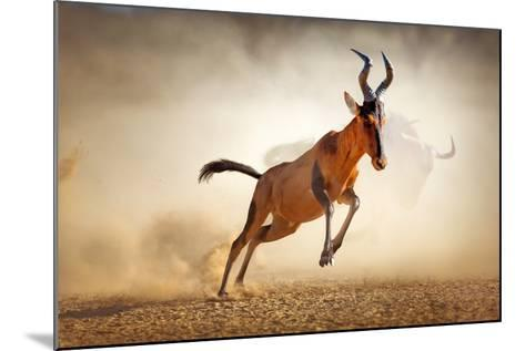 Red Hartebeest Running in Dust - Alcelaphus Caama - Kalahari Desert - South Africa-Johan Swanepoel-Mounted Photographic Print