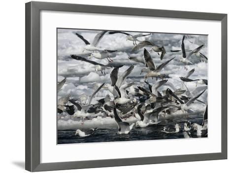 Slaty-Backed Gull, Larus Schistisagus, Group by Water, Japan-Erni-Framed Art Print