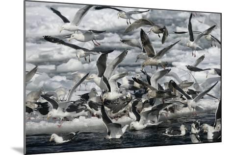 Slaty-Backed Gull, Larus Schistisagus, Group by Water, Japan-Erni-Mounted Photographic Print