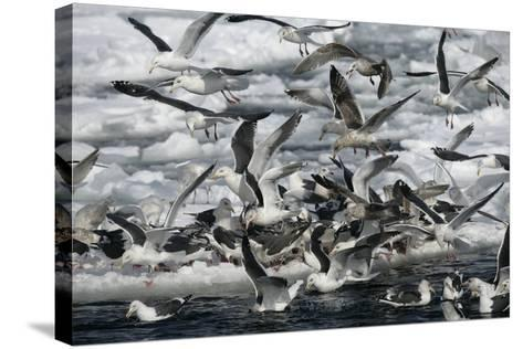 Slaty-Backed Gull, Larus Schistisagus, Group by Water, Japan-Erni-Stretched Canvas Print